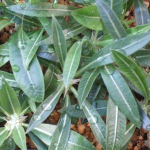 Pachypodium rosulatum seeds