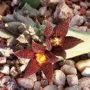 Piaranthus geminatus foetidus