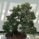 Pinus thunbergii seeds