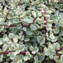 Portulacaria afra variegata cuttings