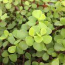 Portulacaria afra (Spekboom) cuttings