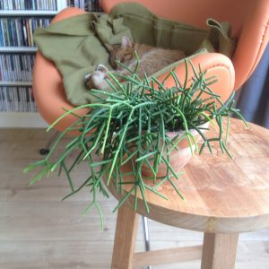 Rhipsalis cassutha cuttings