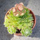 Sempervivum arachnoideum hybrid Christel