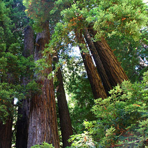 Sequoia sempervirens (Mammoth Tree) seeds
