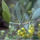 Simmondsia chinensis (Jojoba) seeds