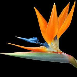 Strelitzia reginae (Bird of Paradise) seeds