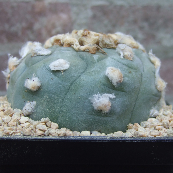 Lophophora williamsii (Peyote) XL