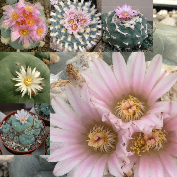 Lophophora collection