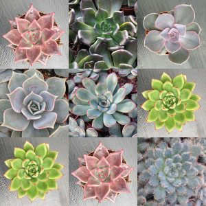 Echeveria Collection Pack