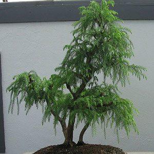 Cryptomeria japonica (Japanese Cedar) seeds
