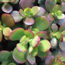 Crassula ovata minor (portulacea)