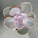 Echeveria Pearl von Neurenberg