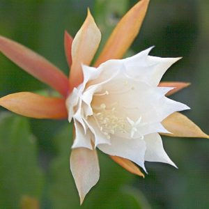 Epiphyllum hybrid Fringe of Gold cutting