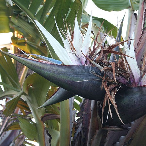 Strelitzia nicolai (White Bird of Paradise) seeds
