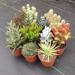 Cactus & Succulent Seeds MIx