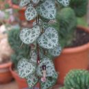 Ceropegia woodii (String of Hearts, Rosary Vine) Bulb