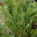 Rhipsalis mesembryanthemum cuttings