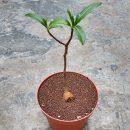 Adansonia digitata (Baobab) plants for sale