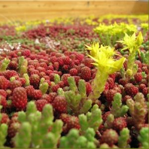 Green Roof Seeds Mix for 3-4 M2