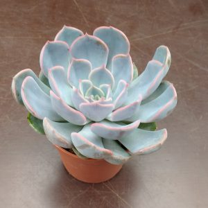 Echeveria Orion