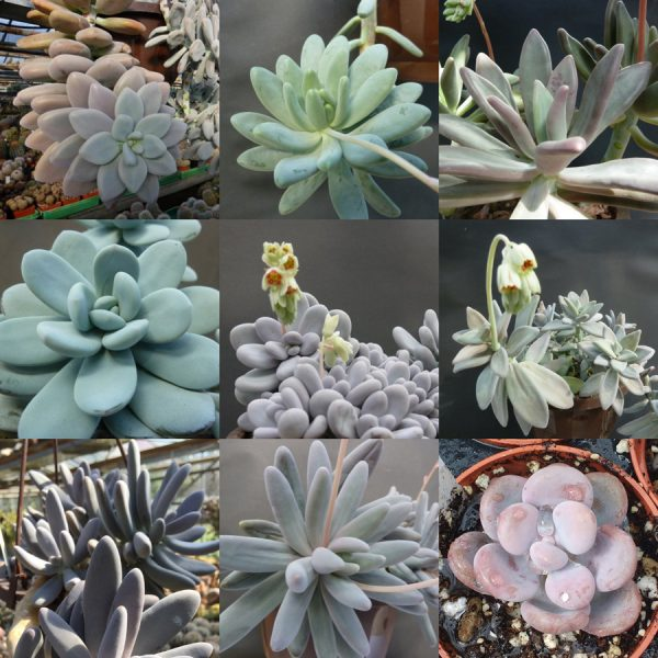Pachyphytum mixed seeds