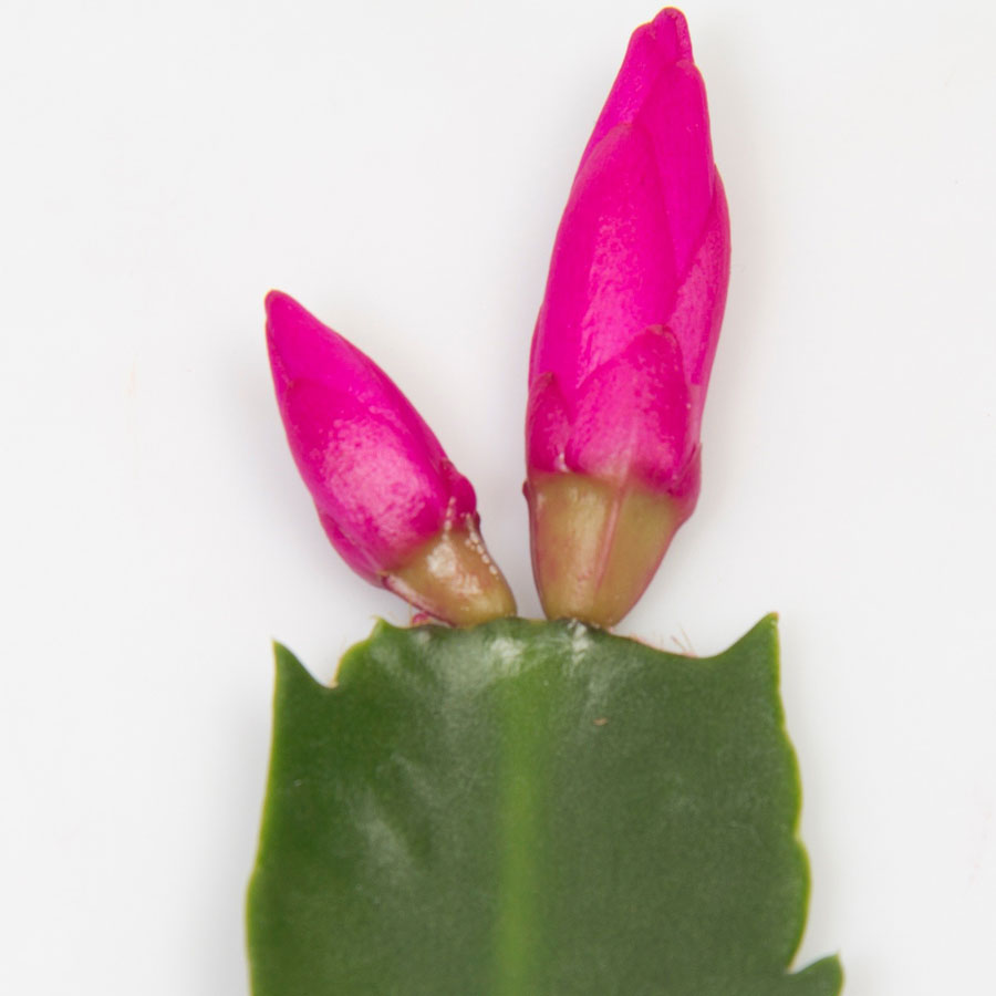 Schlumbergera Thor Sharon cuttings