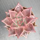 Echeveria agavoides Romeo seeds