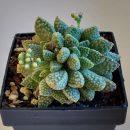 Crassula ausensis titanopsis – Plants