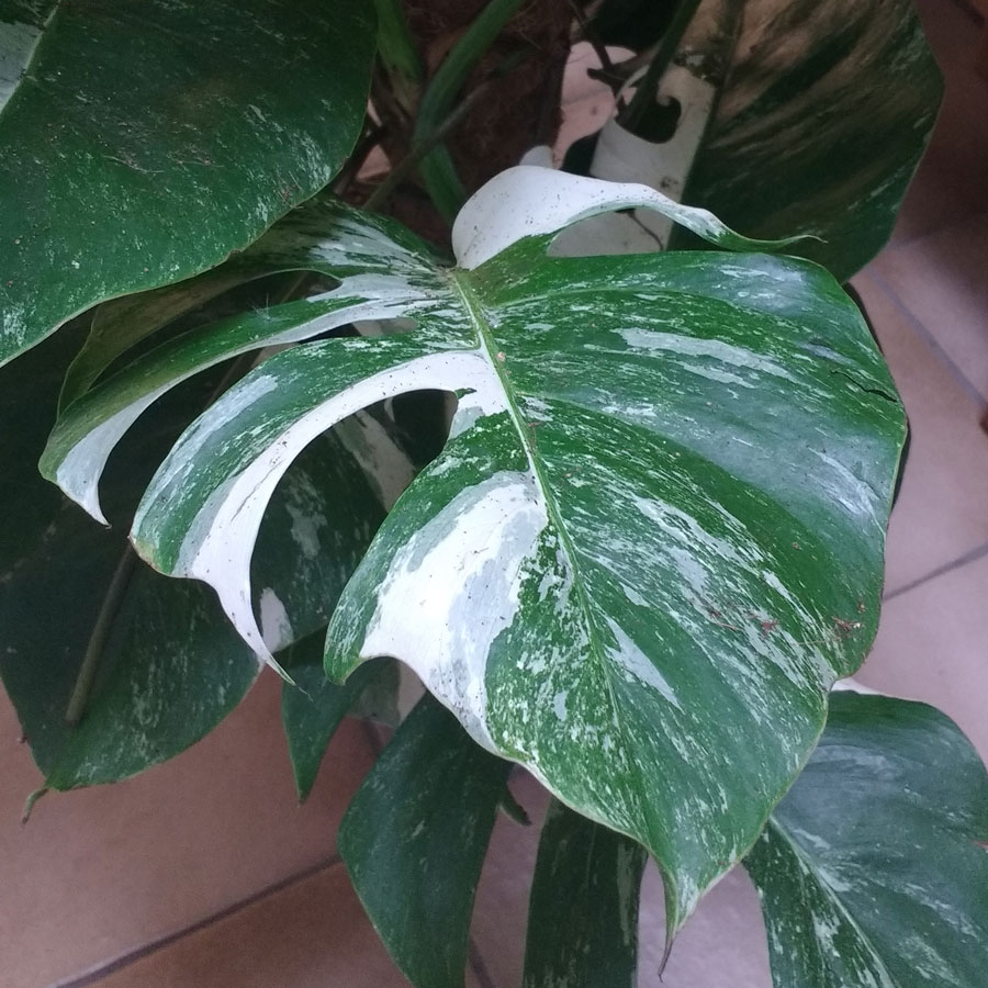 monstera deliciosa swiss cheese plant seeds for sale. Black Bedroom Furniture Sets. Home Design Ideas