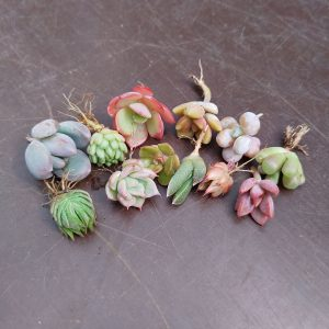 Mini Succulenten