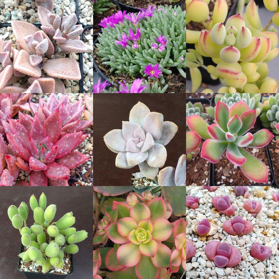 Cactus Succulent Seeds Mix For Sale